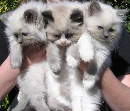 Ragdoll Breeder Cats For Sale